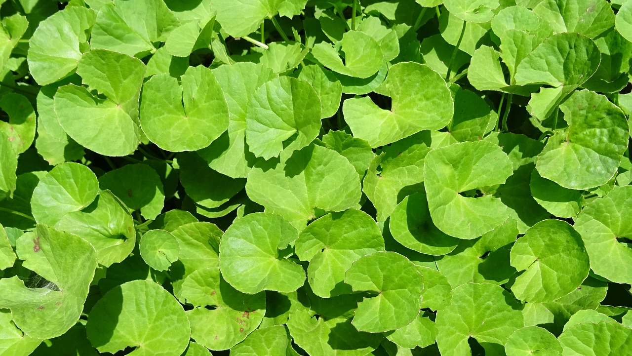 leaves herbs medicinal
