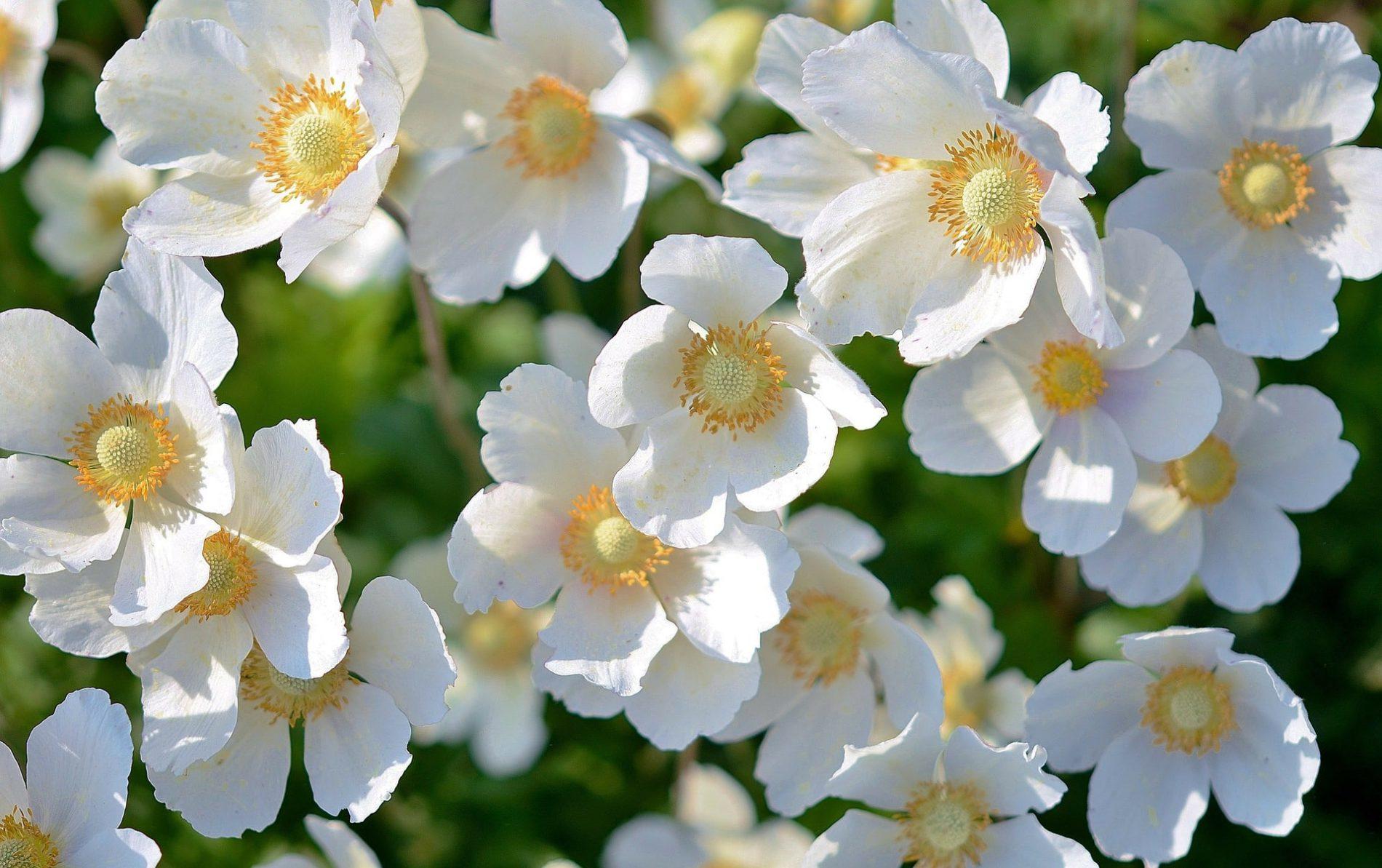 white flower bacopa