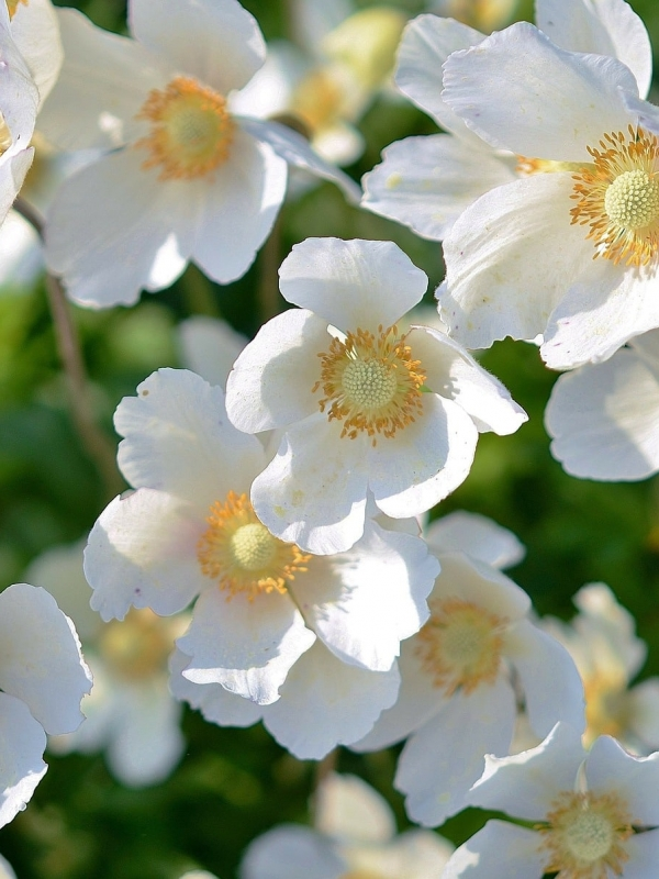 The Best Bacopa Brand: What to Look For