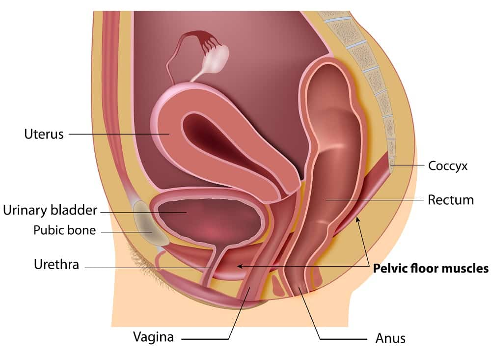 pelvic floor muscles