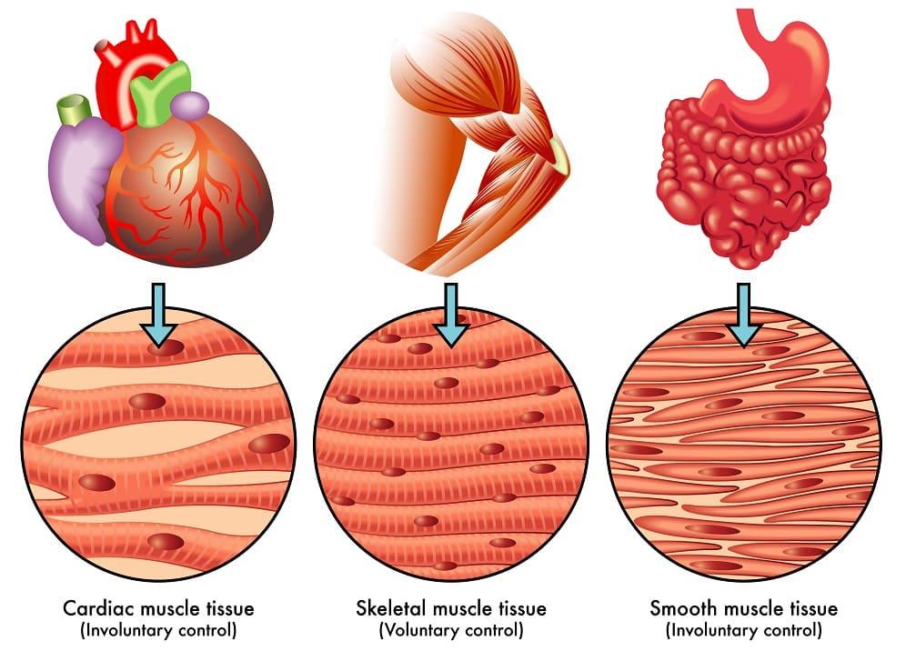 tonic vs phasic muscles